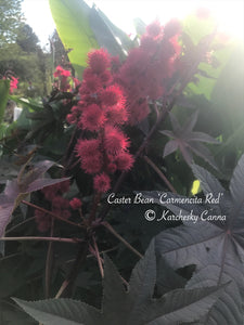 SEEDS: Castor Bean 'Carmencita Red'