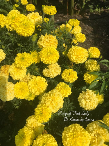 Marigold 'First Lady'