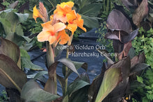 Load image into Gallery viewer, canna 'Golden Orb'