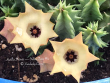 Load image into Gallery viewer, Huernia Thuretti — Yellow Form Variation #2