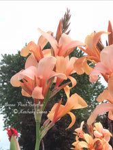 Load image into Gallery viewer, canna 'Peach Butterflies'