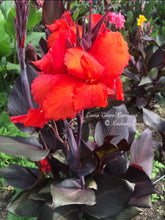 Load image into Gallery viewer, canna 'General Eisenhower'