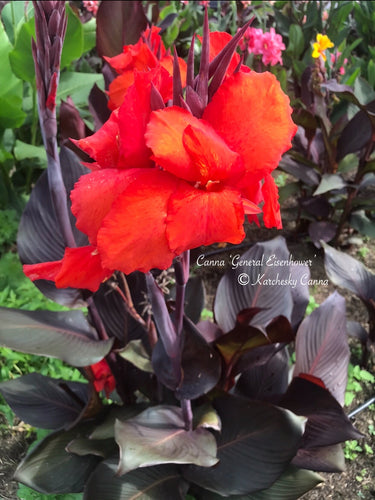 canna 'General Eisenhower'
