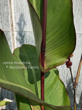 Load image into Gallery viewer, SEEDS: canna 'Musafolia'
