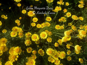 Golden Marguerite Daisy