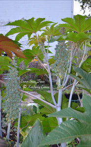 SEEDS: Castor Bean 'Texas'