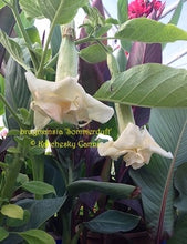 Load image into Gallery viewer, brugmansia 'Sommerduft'