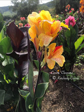 Load image into Gallery viewer, canna 'Cleopatra Variegated'