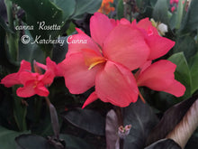 Load image into Gallery viewer, canna 'Rosetta'