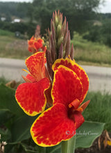 Load image into Gallery viewer, canna 'Butterfly Brocade'