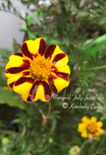 Load image into Gallery viewer, Marigold 'Jolly Jester'