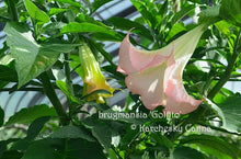 Load image into Gallery viewer, brugmansia 'Golfito'