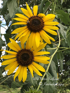 Wild Native Sunflower