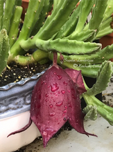 Load image into Gallery viewer, Stapelia Leendertziae