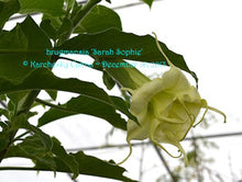 Load image into Gallery viewer, brugmansia 'Sarah Sophie'
