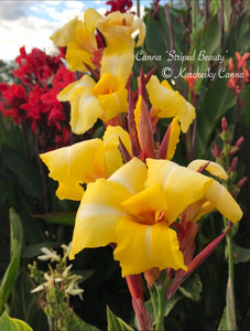 canna 'Striped Beauty'