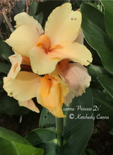 Load image into Gallery viewer, canna 'Princess Di'