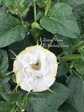 Load image into Gallery viewer, datura 'Picotee'