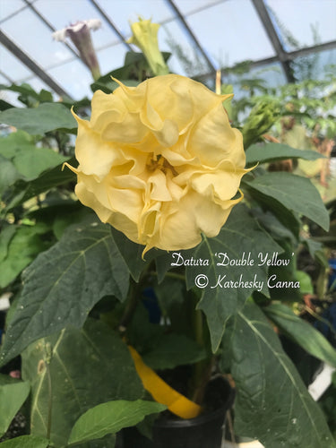 datura 'Double Yellow'