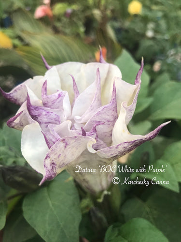 datura 'BOC: Double White with Purple'