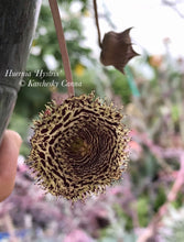 Load image into Gallery viewer, Huernia Hystrix