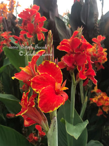 canna 'Butterfly Brocade'