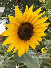 Load image into Gallery viewer, Wild Native Sunflower