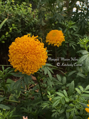 Marigold 'Mission Yellow'