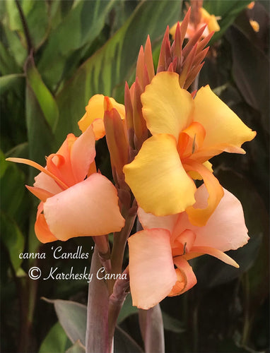 canna 'Candles'