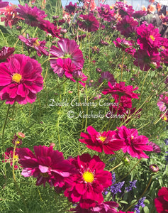 Cosmos 'Double Click Cranberry'