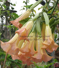 Load image into Gallery viewer, brugmansia 'Mango Crush'
