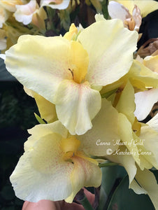 canna 'Heart of Gold'