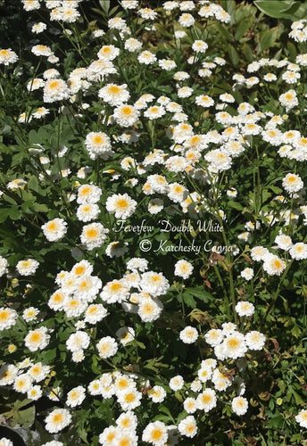 Feverfew 'Double White'