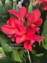 Load image into Gallery viewer, canna 'Cherry Margarita'