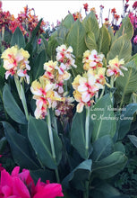 Load image into Gallery viewer, canna 'Rosalinda'