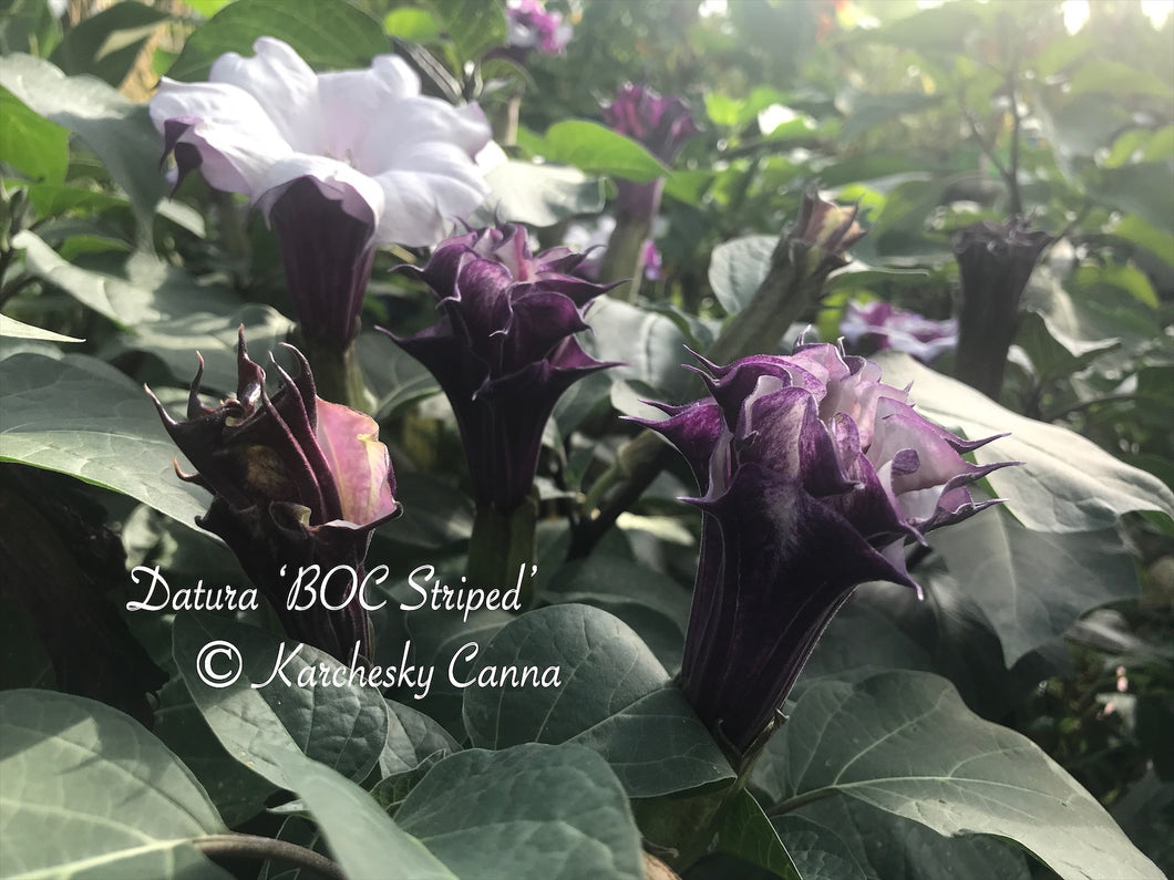 datura 'BOC: Striped'