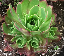 Load image into Gallery viewer, Aeonium Cabernet