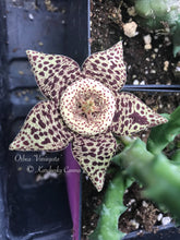 Load image into Gallery viewer, Orbea Variegata