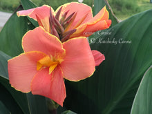 Load image into Gallery viewer, canna 'Corsica'