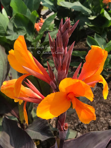 canna 'Pacific Beauty'
