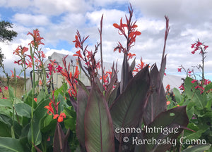 canna 'Intrigue'