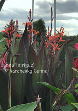 Load image into Gallery viewer, canna 'Intrigue'