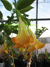 Load image into Gallery viewer, brugmansia 'Jean Pasco'