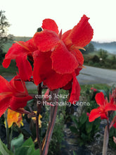 Load image into Gallery viewer, canna 'Joker'