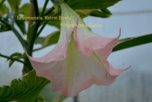 Load image into Gallery viewer, brugmansia 'Katrin Bonte'