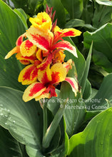 Load image into Gallery viewer, canna 'Konigen Charlotte'