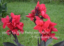 Load image into Gallery viewer, canna 'La Belle Dame sans Merci'