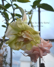 Load image into Gallery viewer, brugmansia 'La Belle Reine'