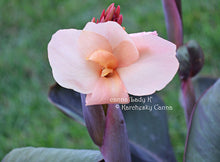 Load image into Gallery viewer, canna 'Lady K'