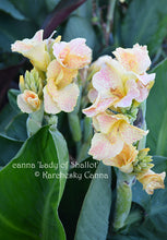 Load image into Gallery viewer, canna 'Lady of Shallot'